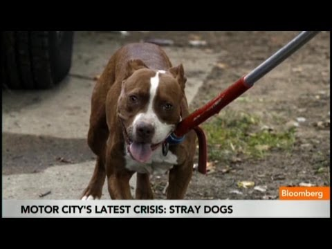 Detroit Dominated by Pitbulls as 50K Dogs Roam Free
