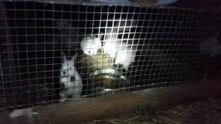 Video The Rabbits Have Been Breeding Like.... RABBITS! - Meat Rabbit Colony (S.2-E.9) download MP3, 3GP, MP4, WEBM, AVI, FLV November 2017