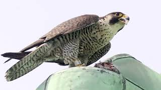 Peregrine falcons find a new home in N.D.G. church