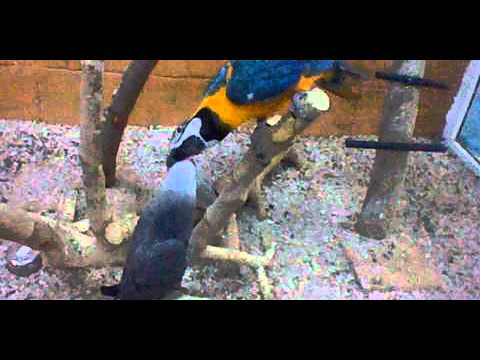 African Grey Parrot vs Blue-and-yellow Macaw