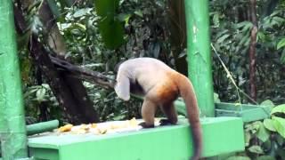 Etende aap in het amazone-woud