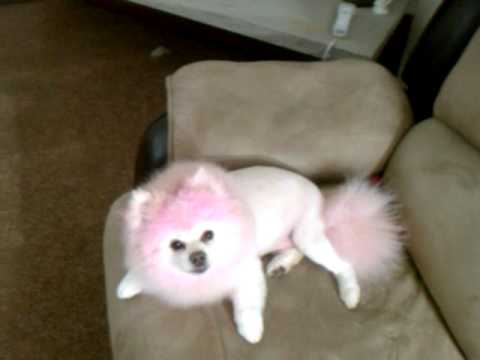 My pink pomeranian and her new Lion cut :) - YouTube