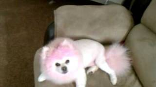 My Pink Pomeranian And Her New Lion Cut :)