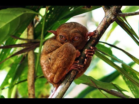BOHOL -TARSIERS AND HILLS