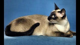 Сиамский кот - лунный бриллиант