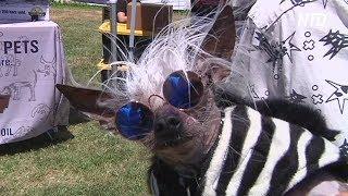 Конкурс на самую страшненькую в мире собачку прошёл в США