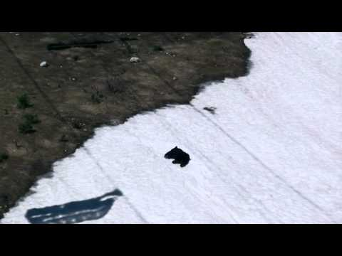 black-bear-sliding-down-a-snow-slope-at-whistler-blackcomb-ski-resort---british-columbia,-canada
