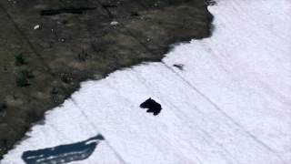 Black Bear Sliding Down a Snow Slope at Whistler Blackcomb Ski Resort - British Columbia, Canada thumbnail