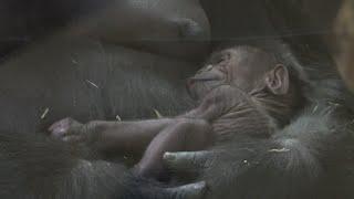 It's a boy: Endangered gorilla born at Chicago zoo