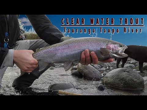 Hunting Taupo Trout In Low Clear Conditions