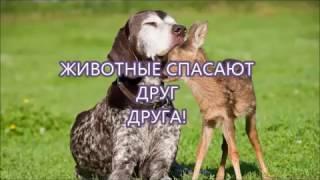 Животные спасают друг друга!!!