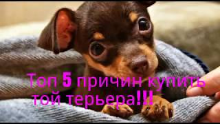 ТОП 5 ПРИЧИН КУПИТЬ ТОЙ ТЕРЬЕРА!!!
