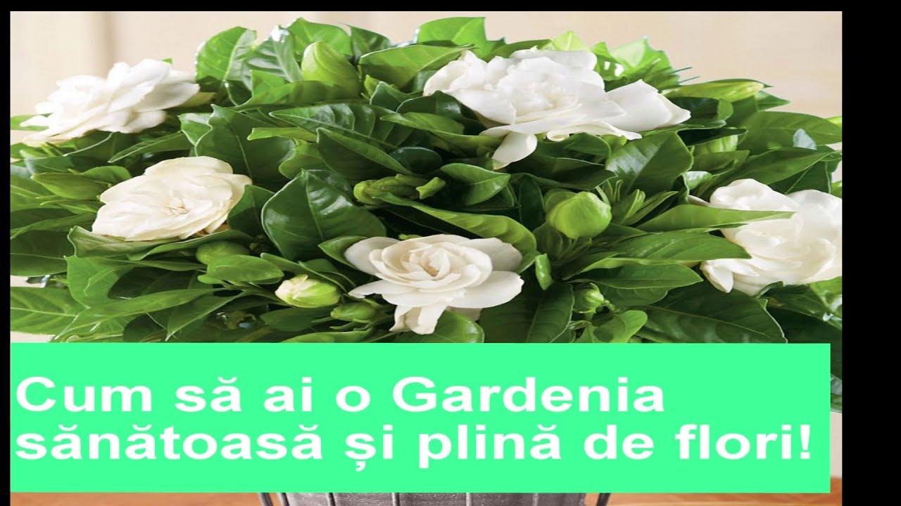 doză de gardenie metronidazol