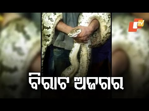 14-Feet Python Rescued From Puri's Pipili