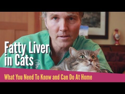 Fatty Liver In Cats: What To Do