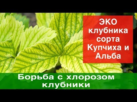 Борьба с хлорозом клубники.Урожайность.+ЭКО клубника сорта Купчиха и Альба в теплице.
