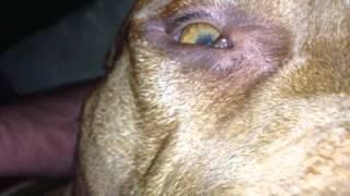 Pit Bull Crazy Eyes