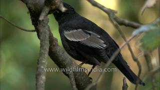 Grey-winged Blackbird in the Indian mountains
