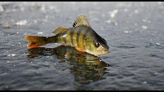 Неудачная рыбалка на окуня