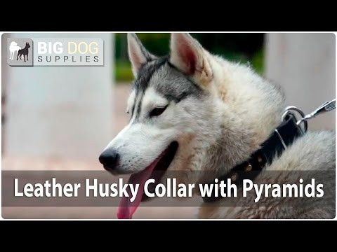 Siberian Husky Looking Awesome in Studded Leather Dog Collar