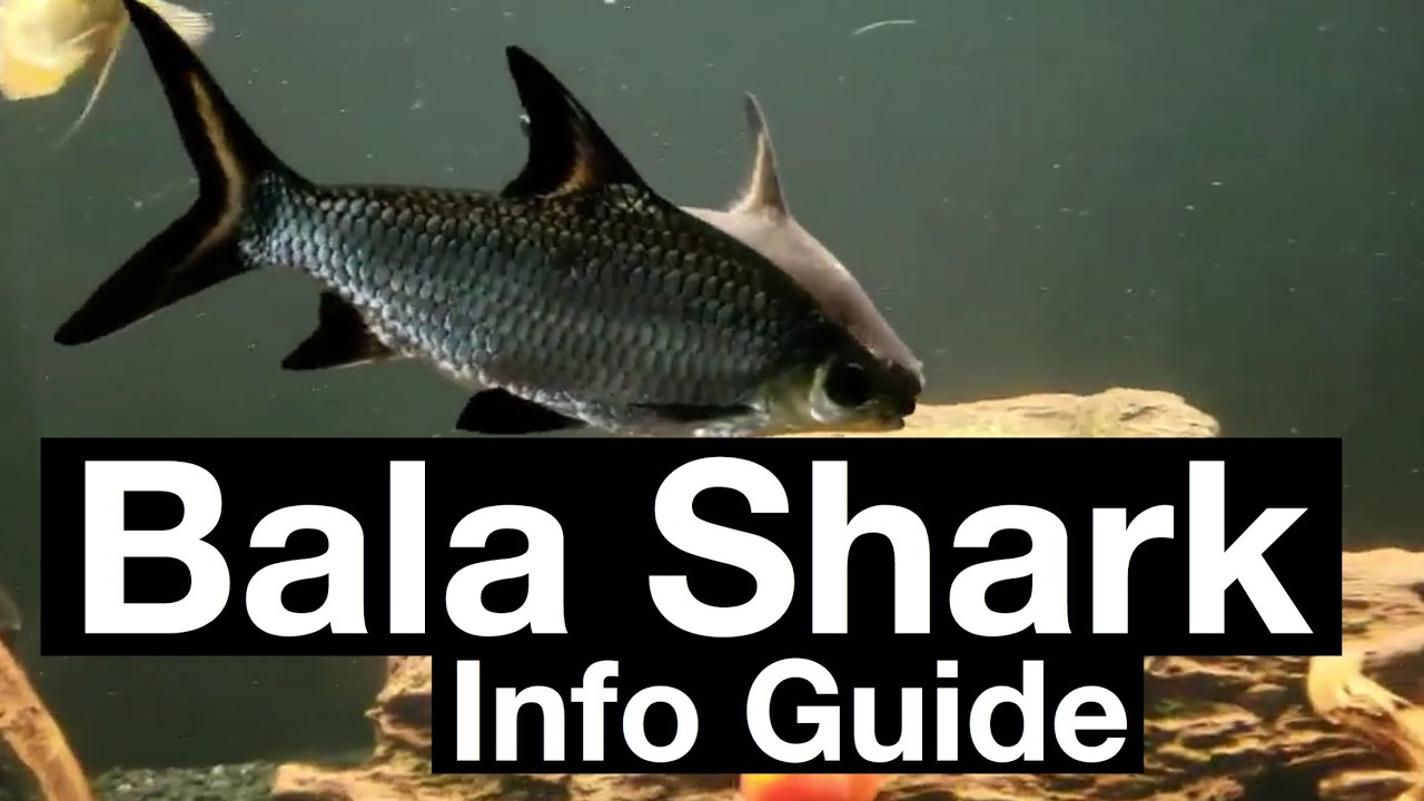 Bala Shark Care Aquarium Setup Guide Youtube