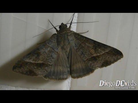Mocis latipes - Small Mocis Moth - curuquerê-dos-capinzais (Euclidiini)