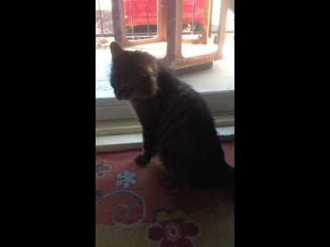 Thiago le chat (SPCA Montréal)