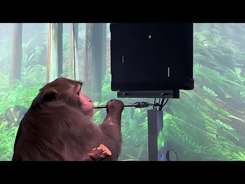 Monkey-plays-Pong-video-game-with-his-mind-using-Neuralink-brain-implant