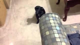 Dachshund Chihuahua Mix Dog