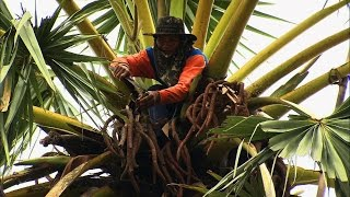 Climbing Trees for Palm Sugar | How It's Made