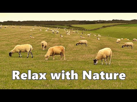 Videos For Dogs - Relax Your Dog TV - 9 HOURS Of Sheep Relaxation