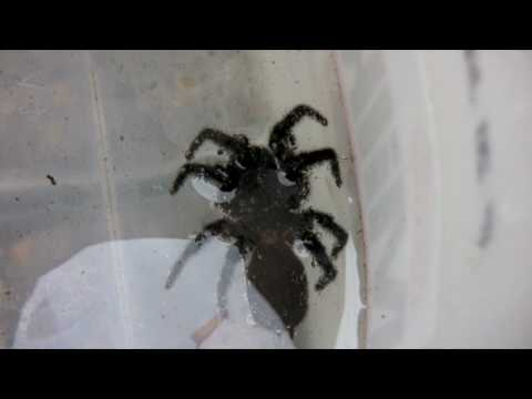 HUGE DEADLY FUNNEL WEB Spider - Playing Dead - Watch in HD!!!! PART 1 of 2