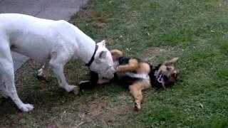 dogo argentino jugando con cachorro