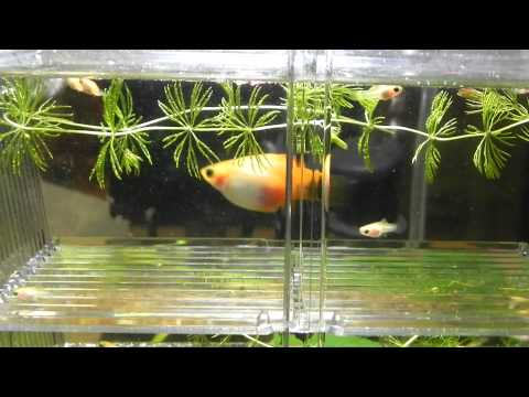 Pregnant Platy Giving Birth Babies