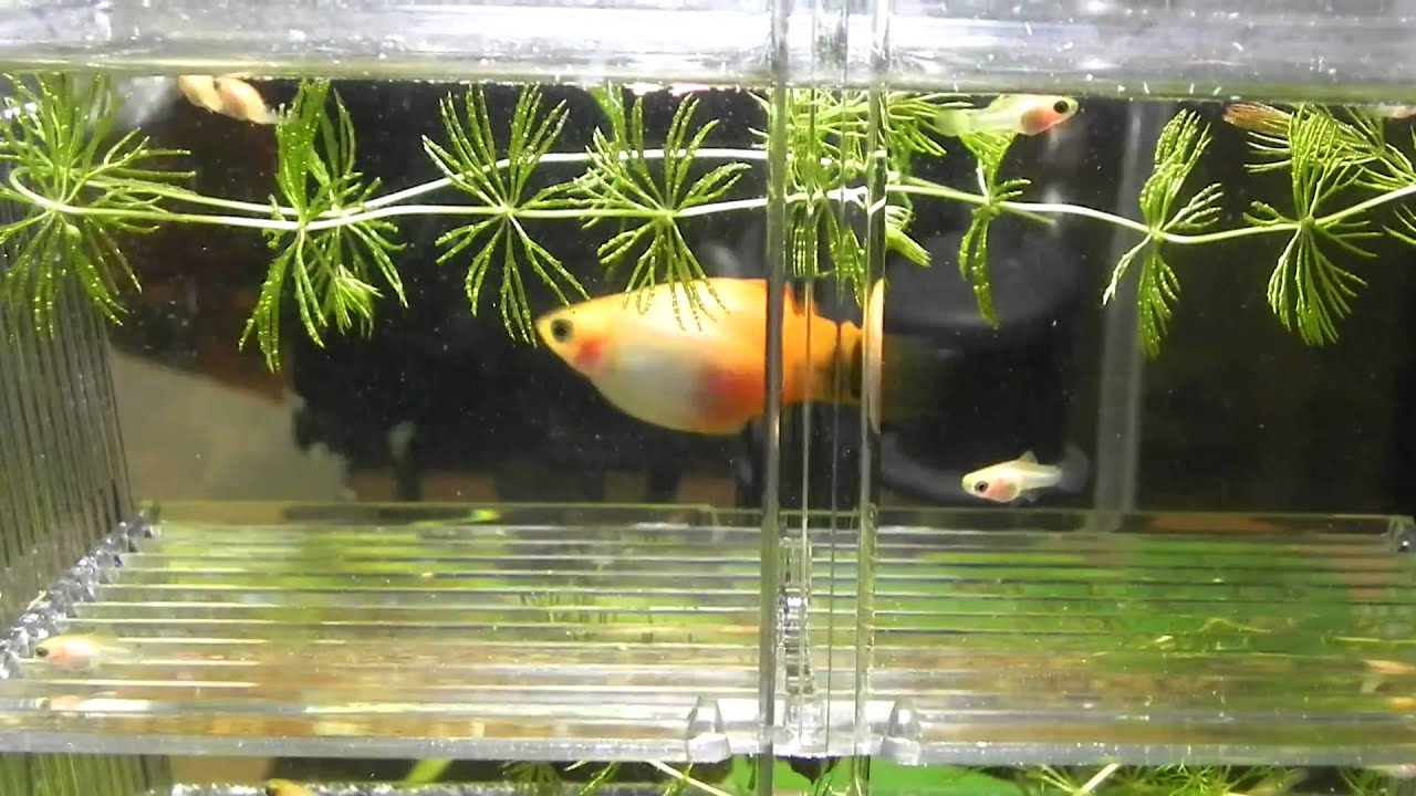 Pregnant platy giving birth babies - YouTube