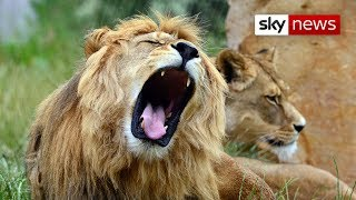 South African 'Lion King' Is Like One Of The Pride