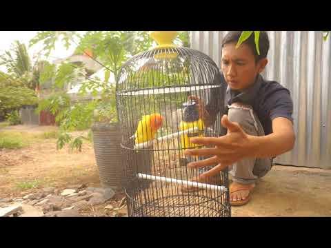 Lovebird asal Bengkulu Bocor sekali ngekek 11 Bendera Merah