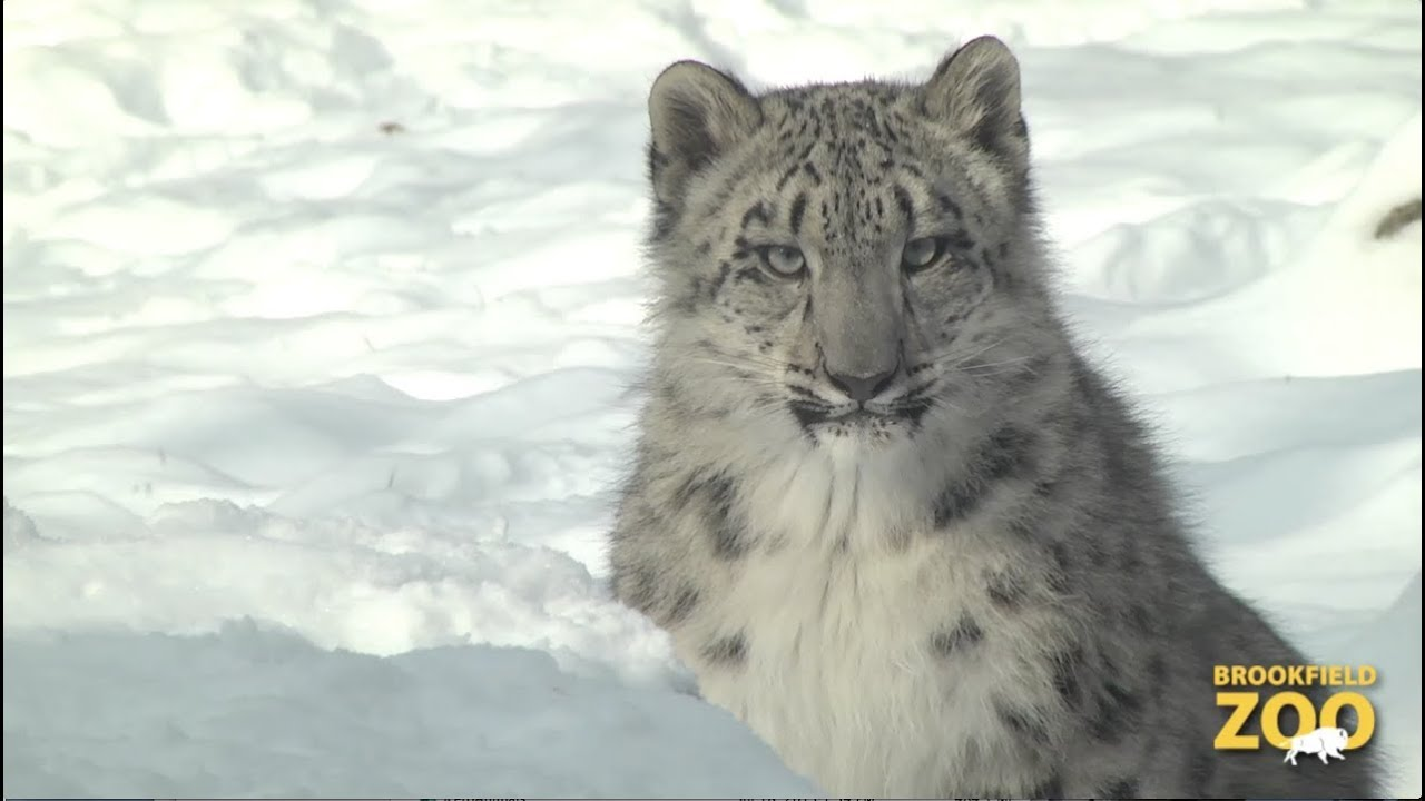Cute Cubs Wallpaper Everest Snow Leopard Cub Playing In The Snow Youtube