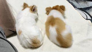 一緒に走ったり出来ない老犬チワワに寄り添うように並んで寝る妹犬