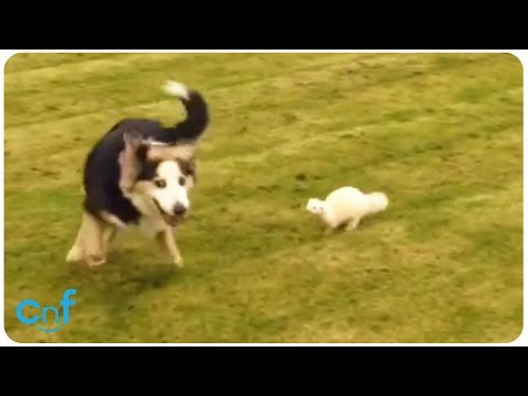 Dog and Ferret Playing | Fetch with Ferret