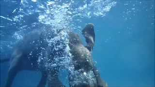 Weimaraner Jae Learning To Dive Underwater In A Swimming Pool - Slow Motion