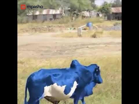 MPASHO TV: MAAJABU! Blue Cow Spotted in Tanzania