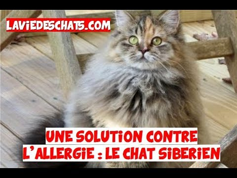 Une Solution Contre L'allergie Au Chat 🐱 : Le Sibérien