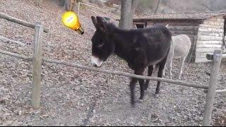 On ne pourra plus jamais dire que les ânes sont bêtes