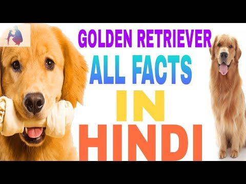 golden retriever dog facts in hindi