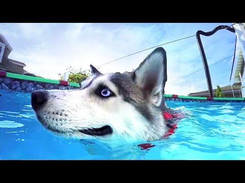 Siberian Husky and Border Collie Swimming in Pool | UNDERWATER DOGS | #NoraWeek