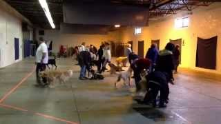Indoor Pack Walk Practicing Group Sit And Down Commands