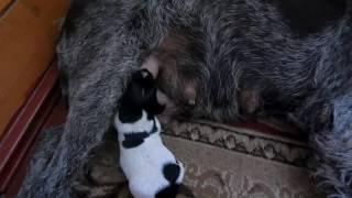 Как у собаки течет молоко - Уход за щенками день за днем