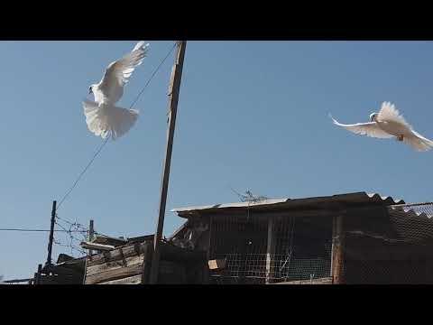 #Широкохвостые #Голуби.    Голуби Гусейнова Теймура! Подняли голубей!21.05.20г