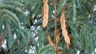 Angico vermelho, Anadenanthera macrocarpa, Leguminosa produtora de tanino, Curtumes,